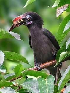 Tarictic Hornbill, Penelopides panini: rainforests on Panay/ Negros/ Masbate/ Guimaras islands in the PH