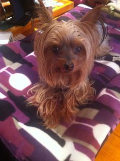 Coco on a handmade doggie bed sold exclusively at Mountain Paws www.mtnpaws.com #yorkie