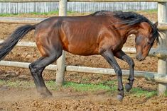 Caspian Horse Although known to the ancient world, these small horses were forgotten after 700 AD and were thought to be extinct by modern scientists
