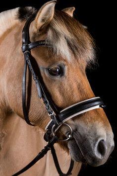 Fjord horse with the kindest eyes! Oline Fjordvang (FJ 10689)