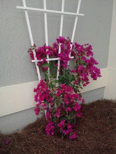How to Care for Your Bougainvillea More