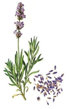 I left without you. Botanical Flowers, Botanical Prints, Impressions Botaniques, Dried Lavender Flowers, Illustration Botanique, Nature Illustration, Flower Photos, Vintage Flowers, Botany
