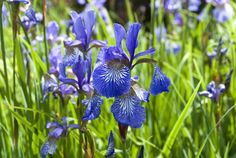 How To Prepare Your Lawn and Garden For Fall Iris Garden, Lawn And Garden, Buy Plants, Garden Plants, Virginia Bluebells, Old Trees, Flower Images, Lawn Care, Winter Garden