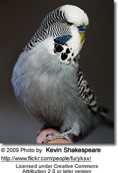 Rare Budgie Colors | yourself the question: what do budgies actually think of their color ...