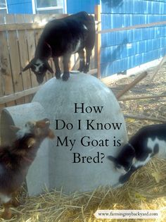 How To Know If Breeding The Goats Was Successful - Farming My Backyard Raising Farm Animals, Raising Goats, Raising Rabbits, Successful Farming, Keeping Goats, Small Goat, Mini Goats, Show Goats, Goat Barn