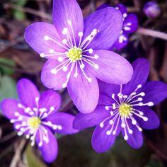 #sinivuokko #blåsippa #hepaticano #garden #trädgård #puutarha #blomma #kukka #flower