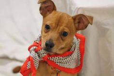 ADOPTED>NAME: Jetter  ANIMAL ID: 30198606 BREED: Chi  SEX: male  EST. AGE: 4 mos  Est Weight: 11 lbs  Health: Temperament: dog friendly, people friendly  ADDITIONAL INFO: RESCUE PULL FEE: $69  Intake date: 11/16 Available: Now