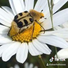 """Fräulein Nellüüü on Instagram: """"📌 Mal wieder eine Video Impression aus unserem Garten. Euch ein sonniges Wochenende 😘 . . #wiese #pinselkäfer #tiktok #rosenkäfer #käfer…"""" Videos, Insects, Flora, Bee, Animals, Instagram, Lawn And Garden, Honey Bees, Animales"""
