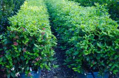 Hedges in a hurry. Some people cherish the challenge of nurturing and shaping rows of tiny plants into established hedgerows. Eve Price, Valley Nursery, Garden Hedges, Nurseries, Yard Ideas, Gardens, Herbs, Plants, Babies Rooms