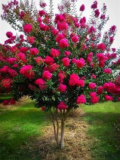 Crape Myrtle Tonto, for the top of the street. It is deciduous. Trees And Shrubs, Trees To Plant, Dwarf Flowering Trees, Beautiful Gardens, Beautiful Flowers, Crepe Myrtle Trees, Crepe Myrtle Bush, Spring Tree, Small Trees