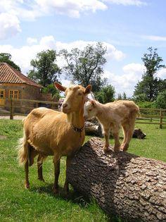 Golden Guernsey Goats at Stow Bardolph