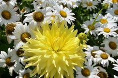 Dahlias and Daisies- Alfond Children's Garden
