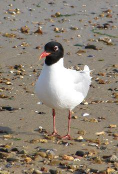 Mediterranean gull (Ichthyaetus melanocephalus), zwartkopmeeuw