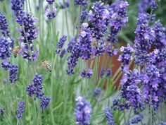 Lavender so beautiful Special Flowers, Lavander, Beautiful Roses, Home And Garden, Landscape, Spring, Plants, Outdoor, Gardening