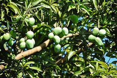Herbal Plants, Medicinal Herbs, Mango Tree, All Plants, Alternative Medicine, Herbal Remedies, Herbalism, Flora, Butterfly