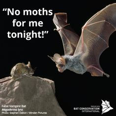 Not all #bats eat insects. Some, like this false vampire bat, eat other mammals like mice & even other bats!