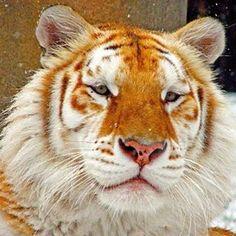 Solo existen 30 tigres dorados en nuestro planeta y están en cautividad. Al igual que el tigre blanco, no se trata de una especie diferente sino de una variación del color.