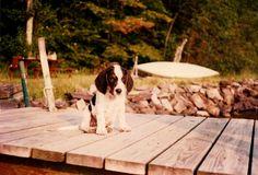 too cute...beagle puppy (Bodine)   ...photo by Geraldine Clark