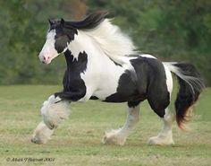 """Jake é o um cavalo da raça """"clydesdale"""" que é um sonho de tão bonito. Seria o tipo de cavalo que eu teria."""