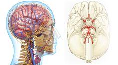 Block The Vascular Origins Of Cognitive Decline - Life Extension