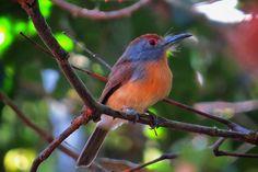 freirinha-de-coroa-castanha (Nonnula ruficapilla)
