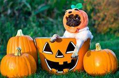 Pumpkin Pug ;-) LOL