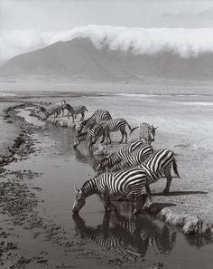 Zebras, Ngorongoro Crater, Tanzania : Enter to Win: Condé Nast Traveler Photographs: 25th Anniversary Collection : Condé Nast Traveler