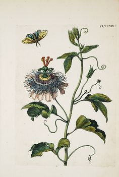 {<3} Passionflower | Initiatic use: nervine, calmative, muscle relaxant, lowers blood pressure, opening & release