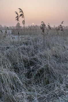 Cold morning   #sunrise#zonsopgang#riet#reed#ripe#rijp#cold#koud#landscape