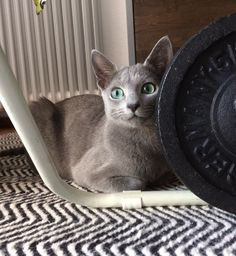 """My 6 month old Russian Blue cat """"Ivy""""."""