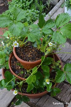 """this might be the cheapest """"strawberry pot"""" i've seen. I don't see why you can't store the separate pot pieces separately for easier wintering."""