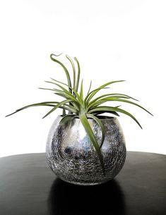 Découvrez la Tillandsia - Succulentissime