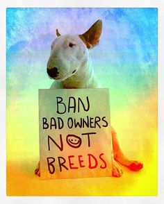 "Repost/Remix: @rafaelmantesso: ""Bull Terriers are banned in puerto rico venezuela germany switzerland bermuda islands and now canada is discussing the ban too. unless the fuckin bad owners go to jail this kind of government decision will never stop."" #dontbullythebreed . __  bull terriers estão banidos em porto rico venezuela alemanha suiça bermudas e agora o canada esta discutindo banir tambem. enquanto nao prenderem os filhos da puta dos donos que judiam dos animais este tipo de decisão…"