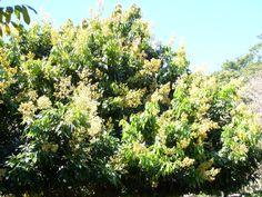 As flores de Lichia