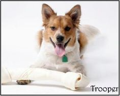 Trooper is an adoptable Australian Cattle Dog (Blue Heeler) Dog in Richardson, TX. Trooper was rescued from the Dallas shelter.? At the time he was injured but he has now made a full recovery and is r...