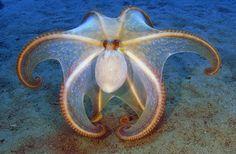 Octopus vulgaris Photo by Francesco Turano -- National Geographic Your Shot Underwater Creatures, Underwater Life, Ocean Creatures, Under The Ocean, Sea And Ocean, Amazing Animals, Animals Beautiful, Fauna Marina, Beautiful Sea Creatures