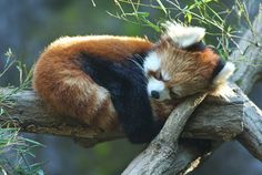 Red panda hugging it's tail while it sleeps... i can't even...