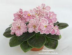 Пастушка (Морев) - детка 12.05 Пример цветения из Сети (растение и фото Алены Кошкаровой).  Ссылка на источник под фото