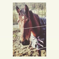 Tired Re #horse #horses #horsesofinstagram #instagramhorses #ilovemyhorse #mybabygirl #mygirl #hackney #hackneyhorse