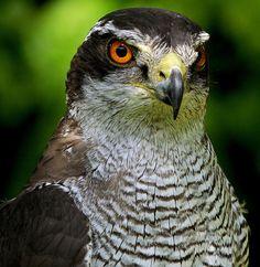 GOSHAWK by Musicaltone, via Flickr #Birds #NorthernGoshawk