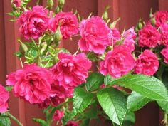 neilikkaruusu - Google-haku Rose, Google, Flowers, Plants, Pink, Roses, Flora, Royal Icing Flowers, Floral