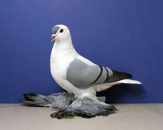 Blue black bar Silesian Swallow