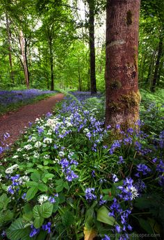 Wild garlic grows in woodlands, in among the bluebells. Ireland - In Woodlands by Stephen Emerson Mother Earth, Mother Nature, Beautiful World, Beautiful Places, Forest Path, Woodland Garden, Walk In The Woods, Felder, Beautiful Landscapes