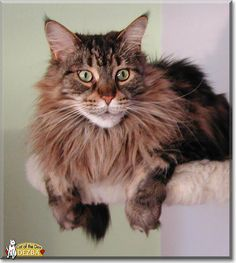 Read Dezba the Maine Coon's story from Goslar, Germany and see her photos at Cat of the Day http://CatoftheDay.com/archive/2014/April/09.html .