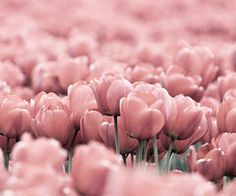 tulips...any color is beauitful
