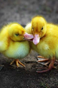 Things that make you go AWW! Like puppies, bunnies, babies, and so on. A place for really cute pictures and videos! Cute Animals Puppies, Cute Baby Animals, Funny Animals, Cute Ducklings, Duck And Ducklings, Beautiful Creatures, Animals Beautiful, Animal Sketches Easy, Funny Babies
