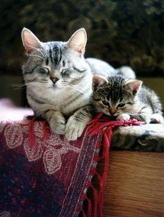 "* * KITTEN: "" Mom, dis Afgahn blankie haz tassles."" MOM CAT: "" So wut? Rips and plays, butz lemme sleeps. Takin' cares of yoo beez tirin'."""