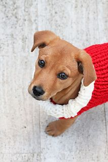 This Christmas dog sweater knitting pattern is for a small sized dog or puppy. The measurements are featured in the pattern. A great quick and easy knit for beginners, make this cozy sweater for your dog to wear over the festive season. You can make them in an array of colours of course for every occasion!