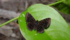 Starry Night Metalmark (Echydna punctata) - Photo by Gill Carter Beautiful Butterflies, Beautiful Flowers, Moth Species, Butterfly Species, Brooch, Night, Butterflies, Fotografia, Pretty Flowers