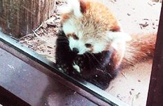 red panda: half bear, half raccoon, all kitty